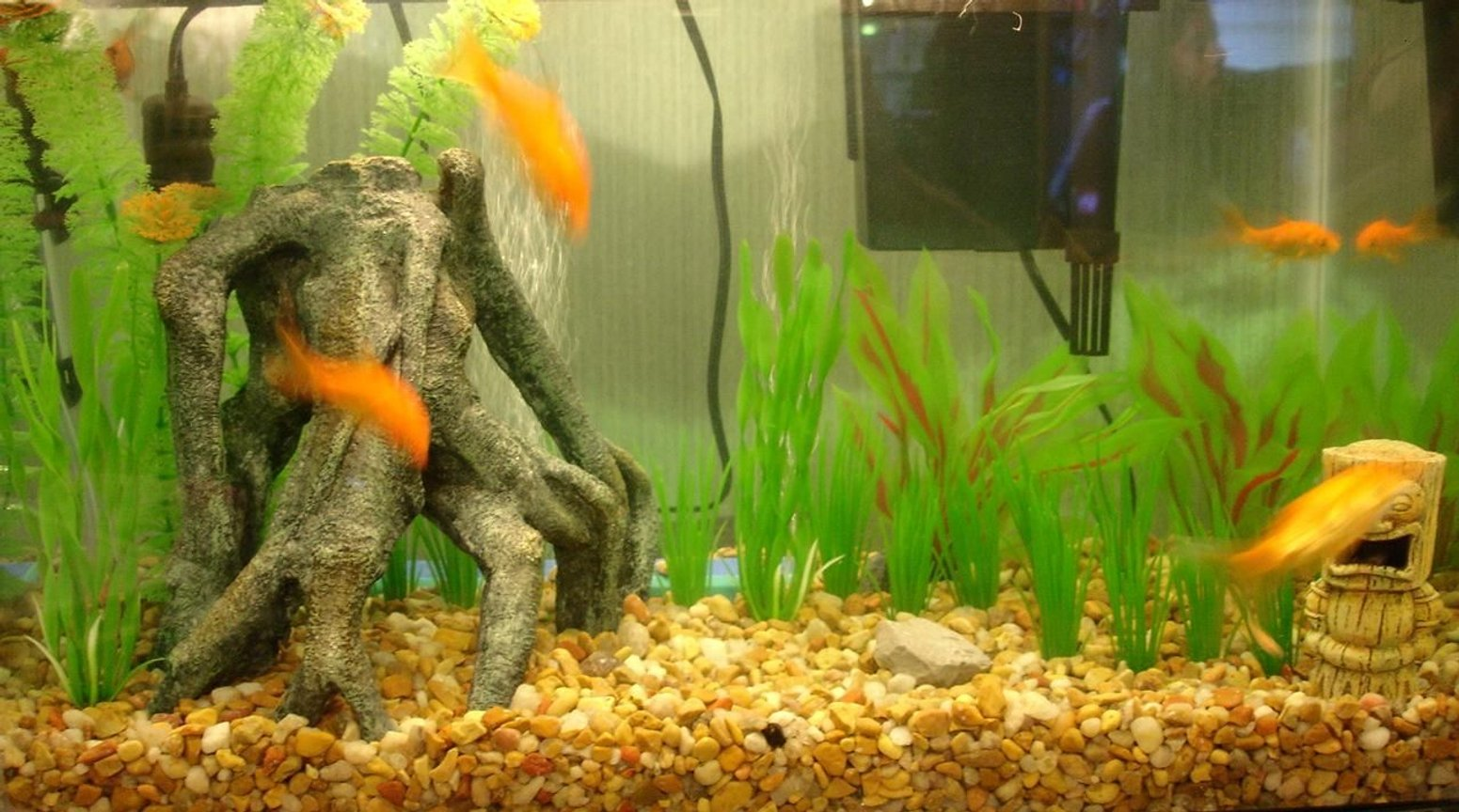 freshwater fish - carassius auratus - goldfish stocking in 10 gallons tank - What i started with. The goldfish are in my little girls room now. In her Dora tank. Ha Ha Dora tank.