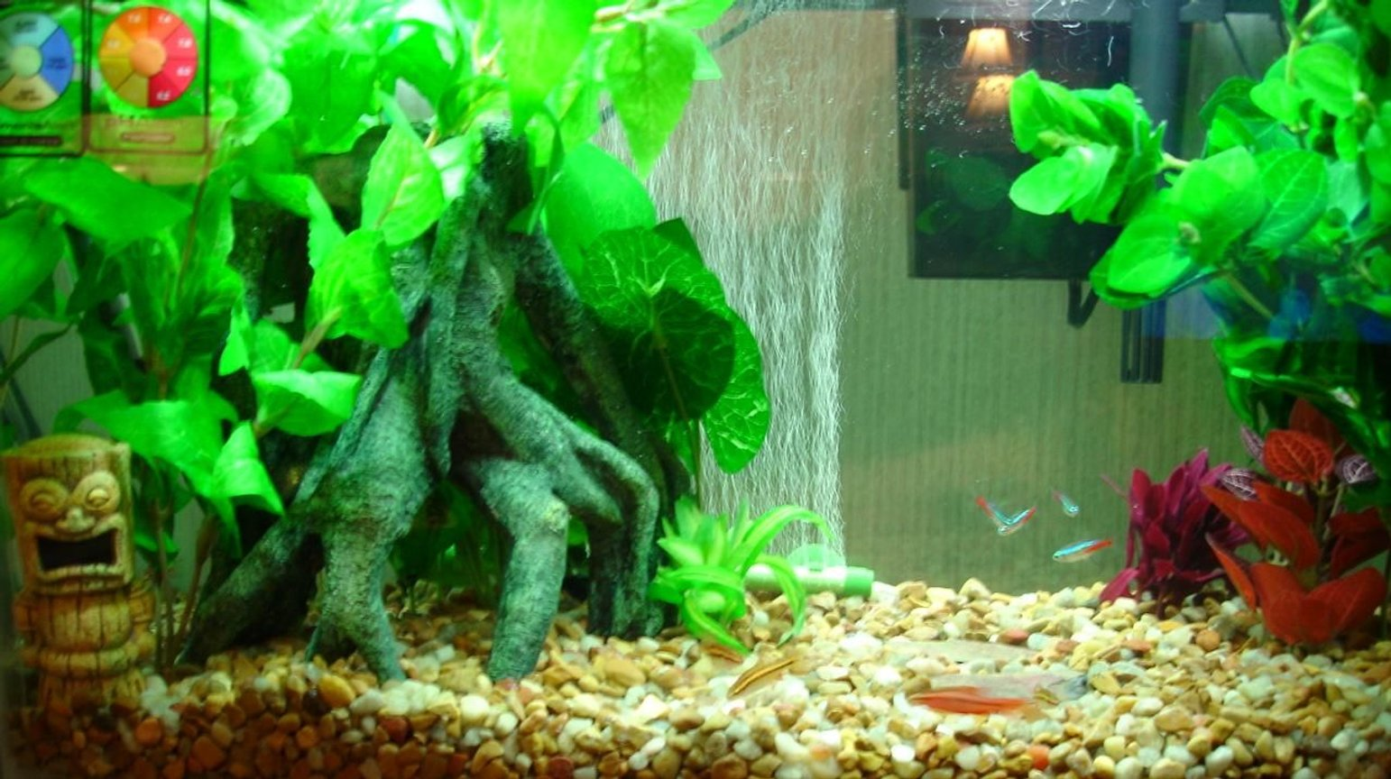 freshwater fish - paracheirodon innesi - neon tetra jumbo stocking in 10 gallons tank - 10 gallon Aqua culture tank,hood,filter,pump. sub. heater bubble wall. All decor if fake. Silk plants and top fin stump. 5 Neon's , 5 Cherry barbs and 2 Cory's. Will be adding 3 or 4 Cheery or Ghost Shrimp later. To help with algae.