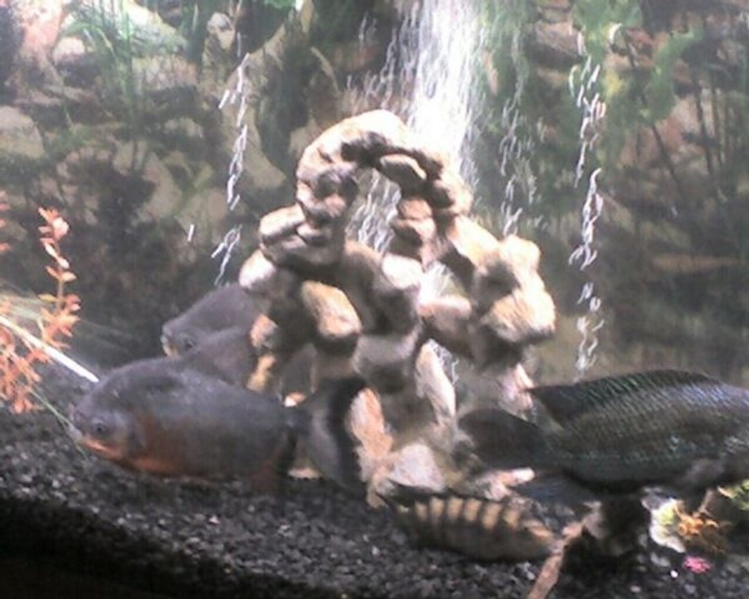 freshwater fish - pygocentrus nattereri - redbellied pirhana stocking in 55 gallons tank - the whole gang