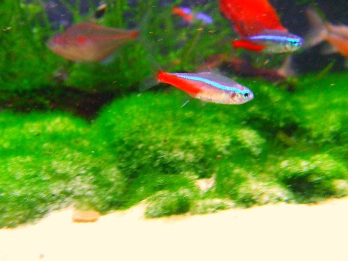 freshwater fish - paracheirodon innesi - neon tetra jumbo stocking in 11 gallons tank - One of my Very colorful neon tetras that i had brought from my local shop, possibly one of the best neons yet ?
