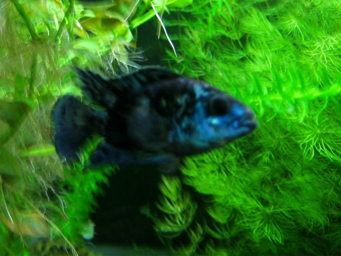 freshwater fish - nandopsis octofasciatum - electric blue jack dempsey stocking in 85 gallons tank - Electric Blue Jack Dempsey, these guys are very slow growers might have to move him to another tank till he gets big.