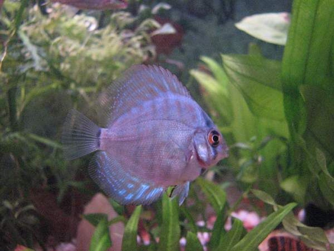 freshwater fish - symphysodon spp. - red turquoise discus stocking in 12 gallons tank - Discus