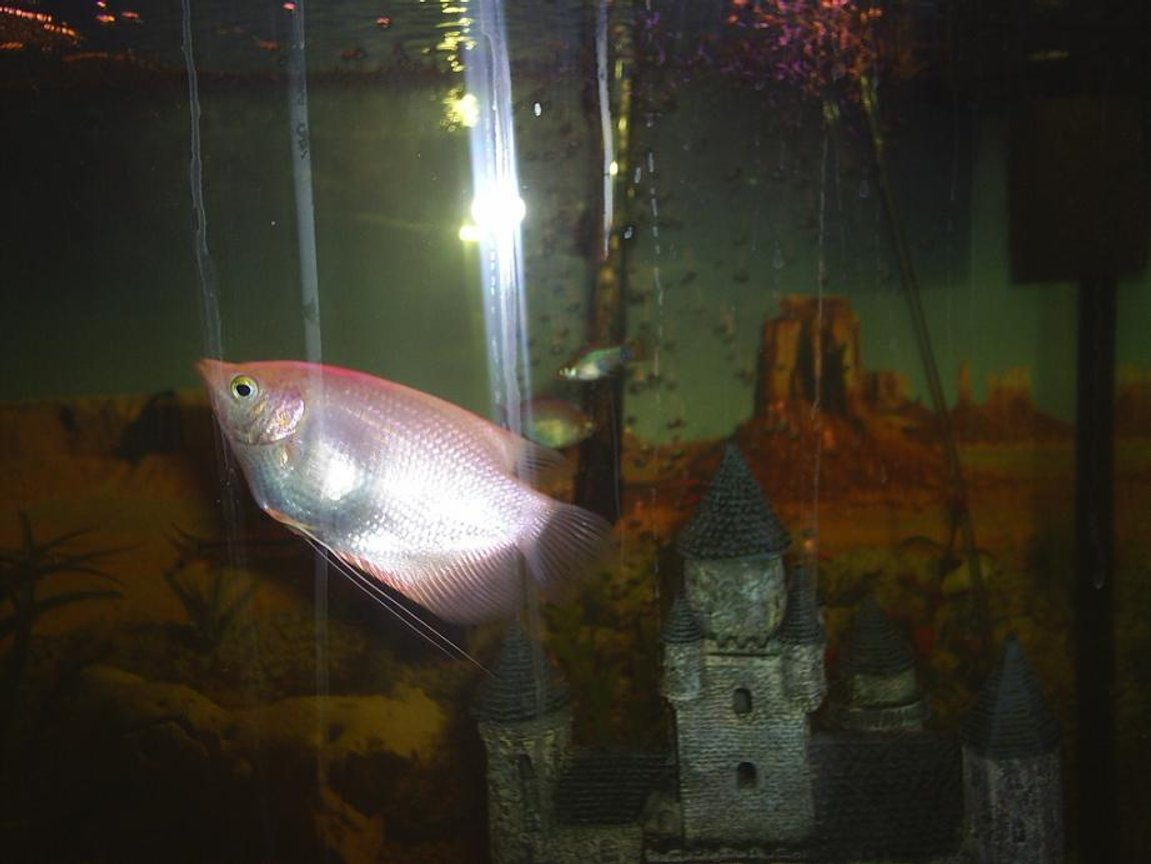freshwater fish - helostoma temmincki - kissing gourami stocking in 90 gallons tank - Pink Kissing Gourami