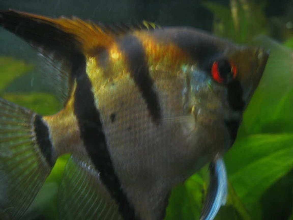 freshwater fish - pterophyllum scalare - angelfish stocking in 55 gallons tank - male angel