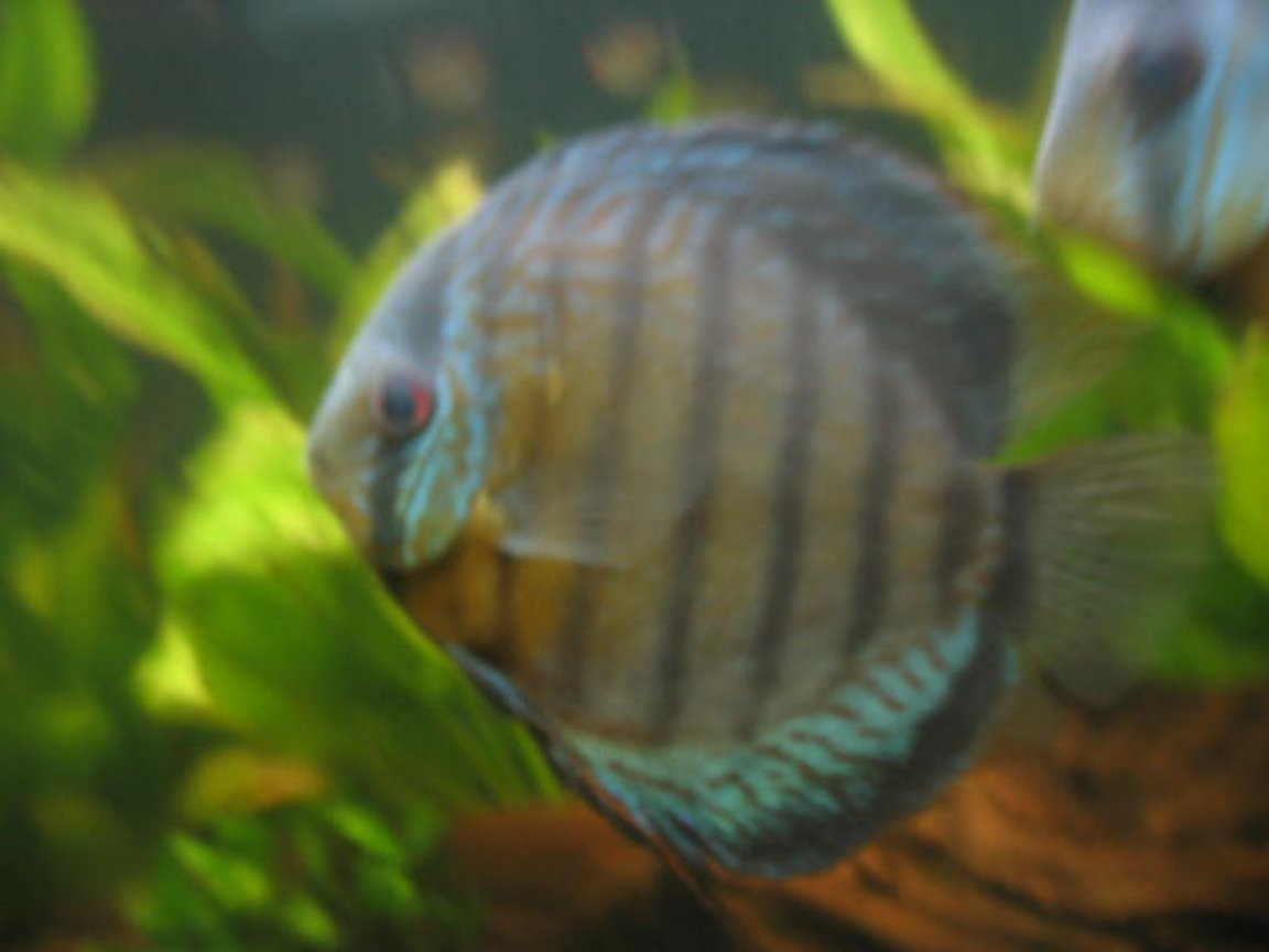 freshwater fish - symphysodon aequifasciata - green discus stocking in 55 gallons tank - discus