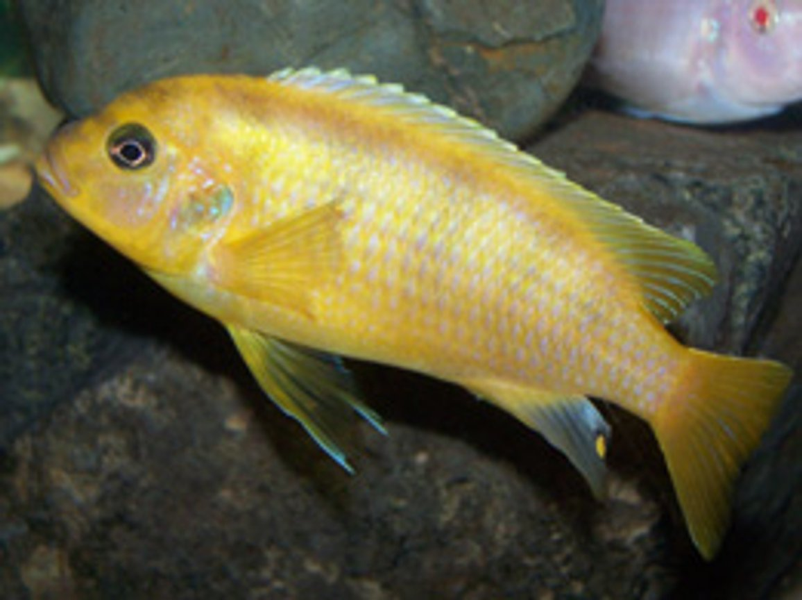 freshwater fish - metriaclima lombardoi - kenyi cichlid stocking in 55 gallons tank - Male Kenyi.