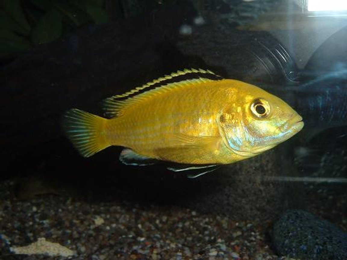 freshwater fish - labidochromis caeruleus - electric yellow cichlid stocking in 100 gallons tank - Yellow Lab (Dominant male)
