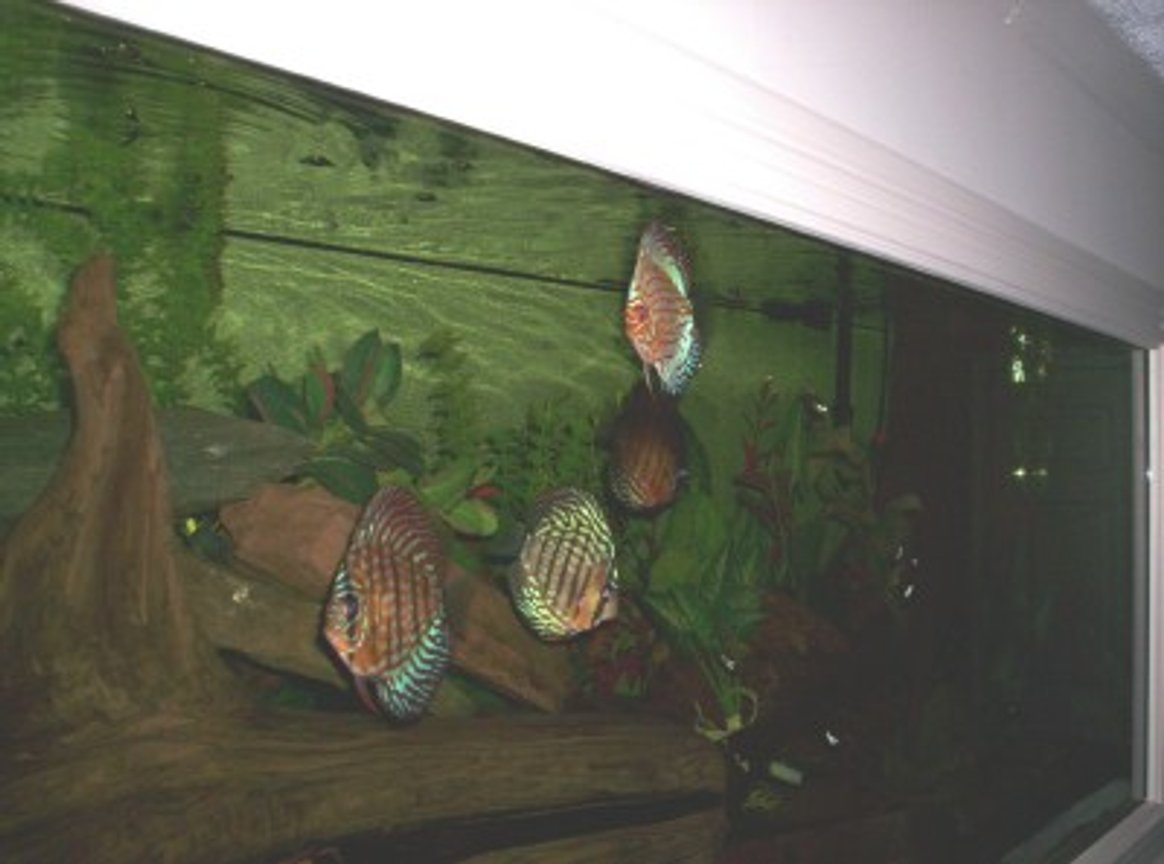 freshwater fish - symphysodon aequifasciata sp. - discus stocking in 150 gallons tank - 150 GAL- DISCUS