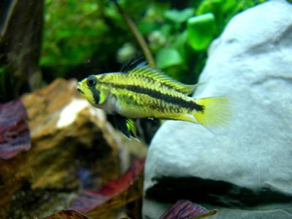 freshwater fish - apistogramma cacatuoides - dwarf cichlid stocking in 46 gallons tank - Apistogramma Cacatuoides - Triple Red female