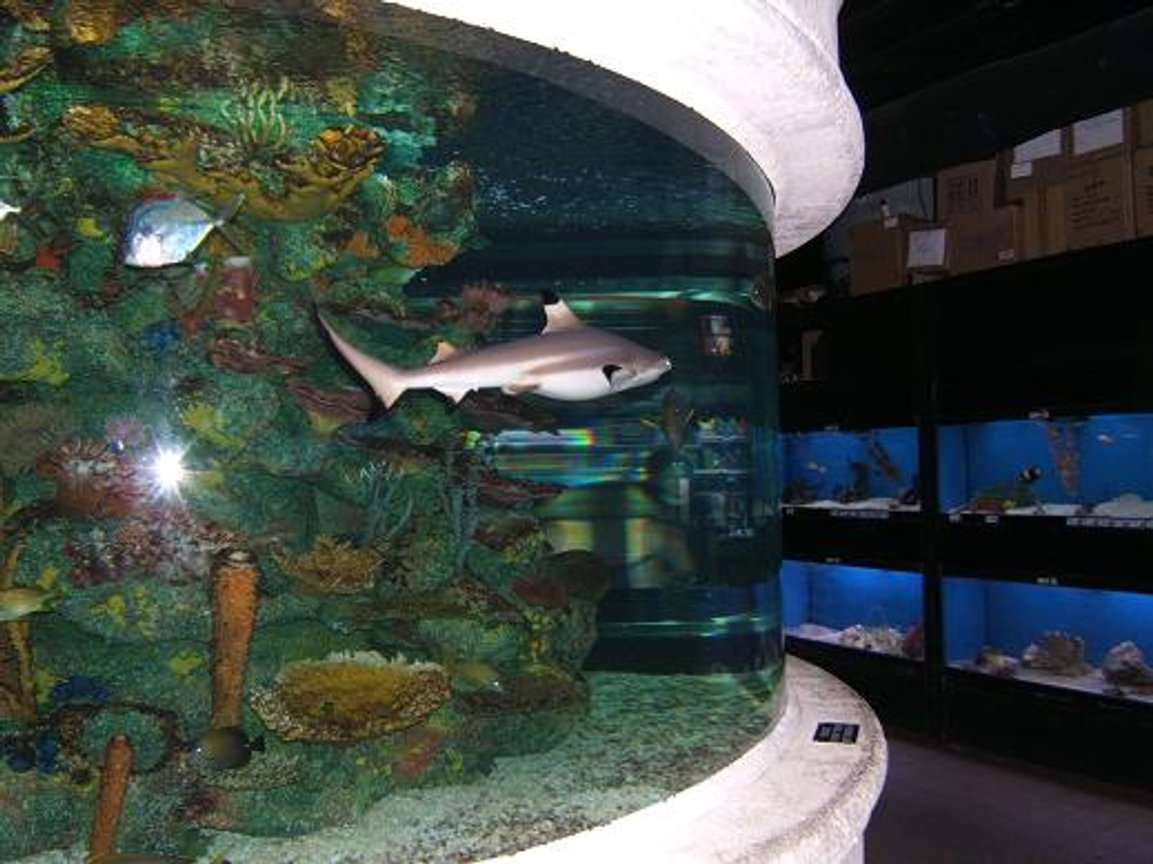freshwater fish - labeo chrysophekadion - black shark stocking in 65 gallons tank - Black Tip Reef Shark At Work