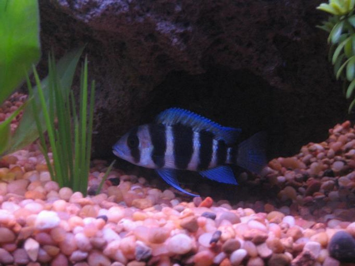 "freshwater fish - cyphotilapia frontosa - frontosa cichlid stocking in 30 gallons tank - 2"" Frontosa"