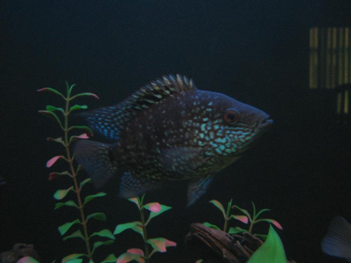 "freshwater fish - herichthys carpinte - green texas cichlid stocking in 30 gallons tank - 4"" Green Texas Cichlid"