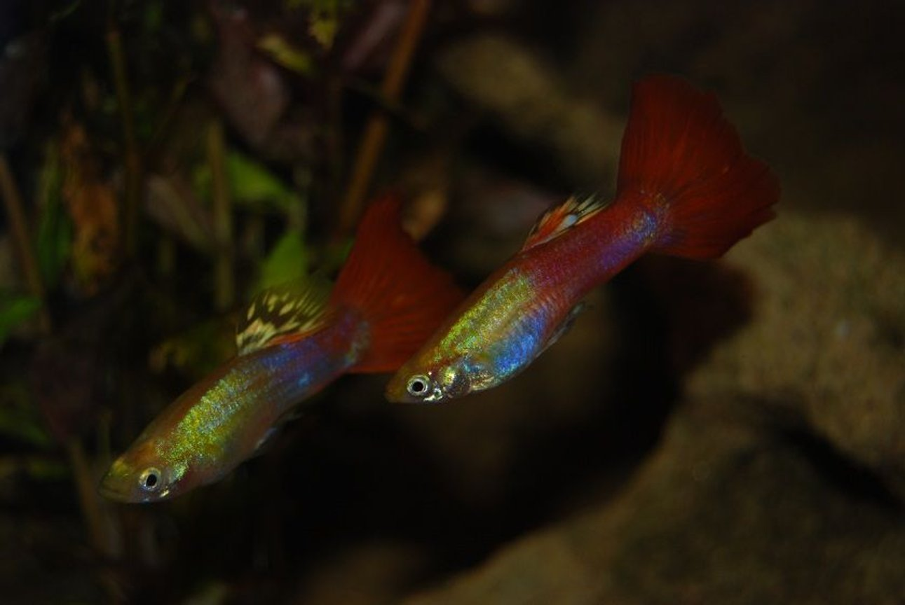 freshwater fish - poecilia reticulata - red fire guppy stocking in 22 gallons tank - Two Of My Guppy's.