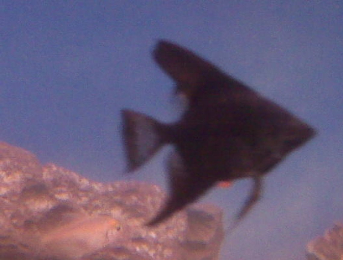 freshwater fish - pterophyllum sp. - black angel stocking in 70 gallons tank - My black angelfish
