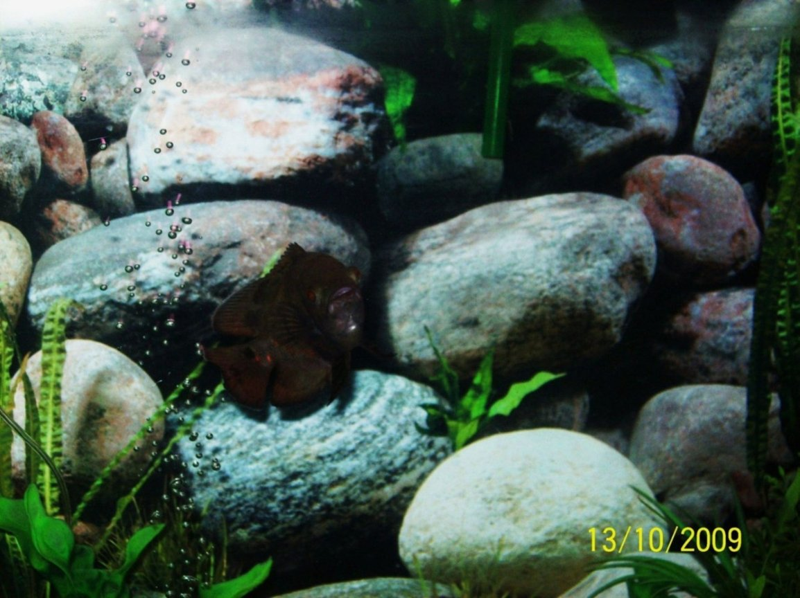 freshwater fish - astronotus ocellatus - tiger oscar stocking in 55 gallons tank - My Young Tiger Oscar smiling