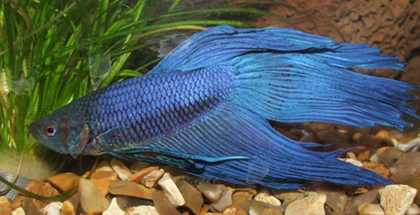 freshwater fish - betta splendens - betta - male stocking in 15 gallons tank - My Siamese fighter, Pirate