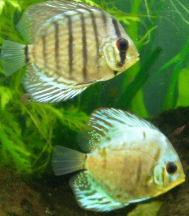 freshwater fish - symphysodon aequifasciata - green discus stocking in 55 gallons tank - more discus
