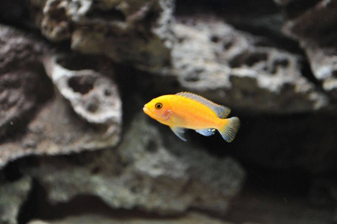 freshwater fish - pseudotropheus estherae - red zebra cichlid stocking in 120 gallons tank - Red Zebra