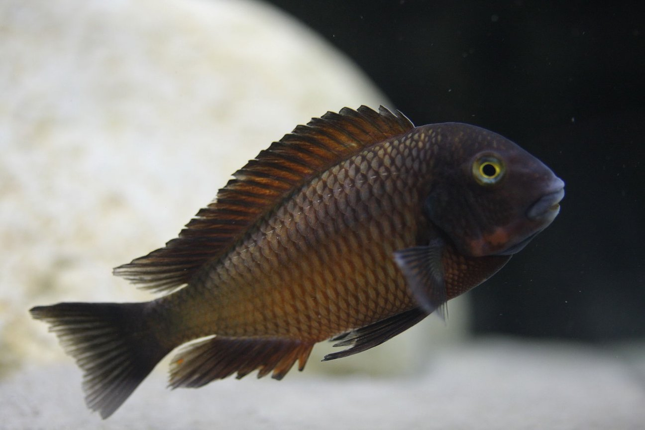 freshwater fish - tropheus chiwena stocking in 220 gallons tank - Tropheus Chiwena male