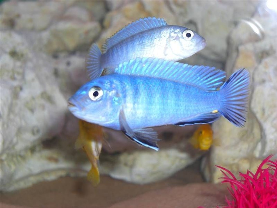 freshwater fish - metriaclima callainos - cobalt blue zebra cichlid - BOB the king of the tank