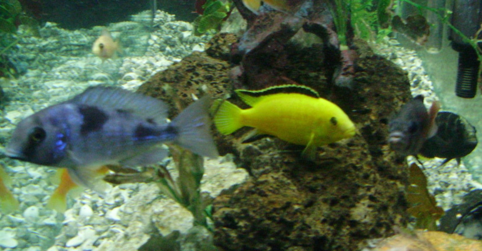 freshwater fish - labidochromis caeruleus - electric yellow cichlid stocking in 70 gallons tank - yellow lab named stripe and friends