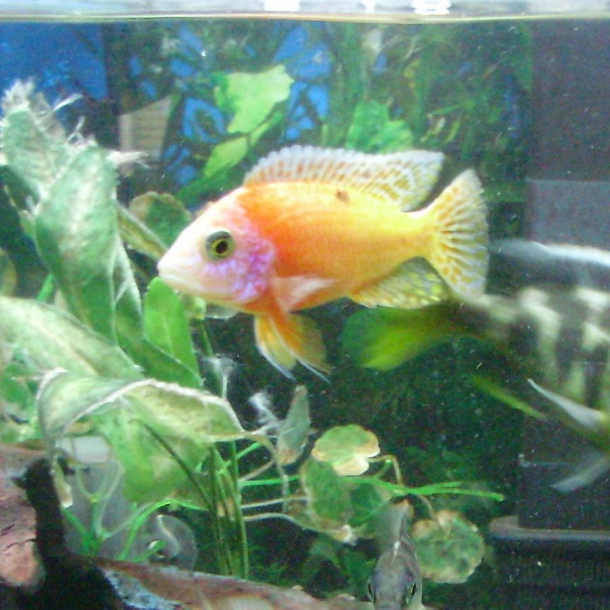 freshwater fish - aulonocara sp. - strawberry peacock cichlid stocking in 70 gallons tank - skittles