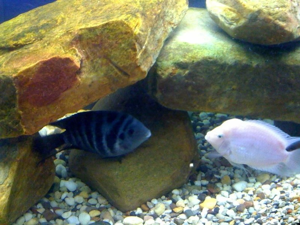 freshwater fish - archocentrus nigrofasciatus - black convict cichlid stocking in 75 gallons tank - Convicts