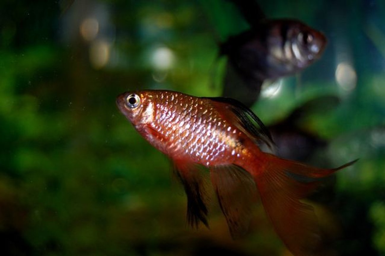 freshwater fish - puntius conchonius - rosy barb stocking in 55 gallons tank - Longfinned Rosy Barb