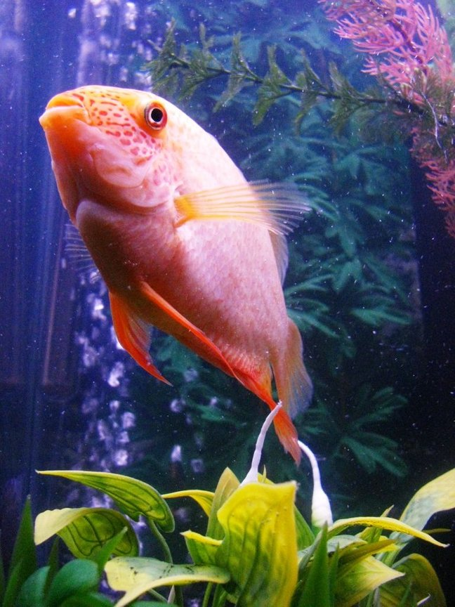 "freshwater fish - heros serverus - gold severum stocking in 55 gallons tank - Another view of my 4-5"" Golden Severum."