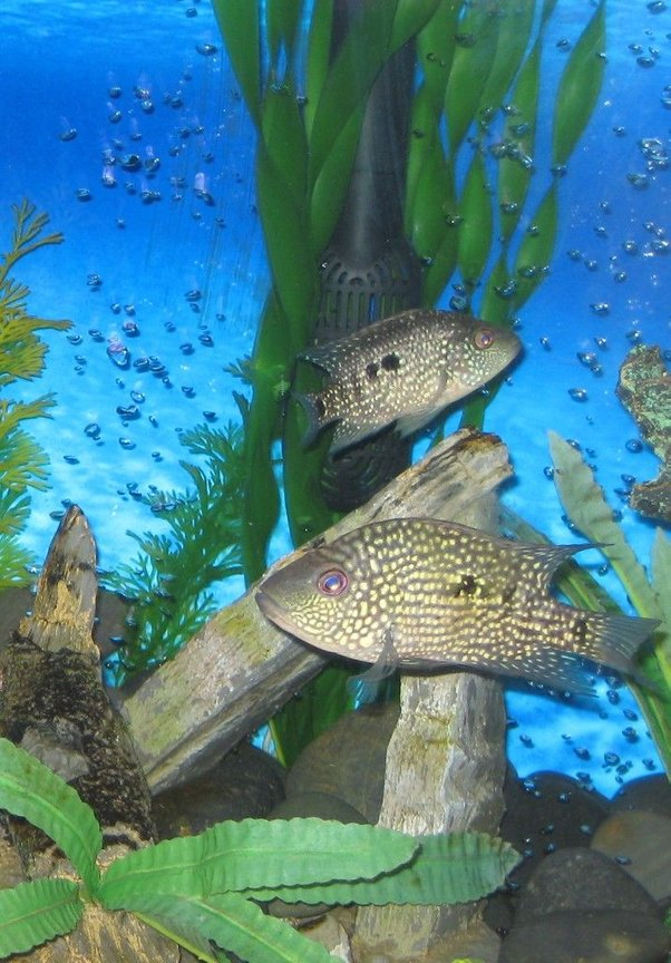 freshwater fish - herichthys carpinte - green texas cichlid stocking in 45 gallons tank