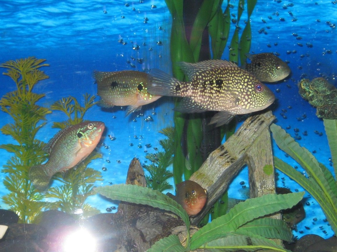 freshwater fish - herichthys cynoguttatus - texas cichlid stocking in 45 gallons tank - texas cichilds with jewel.