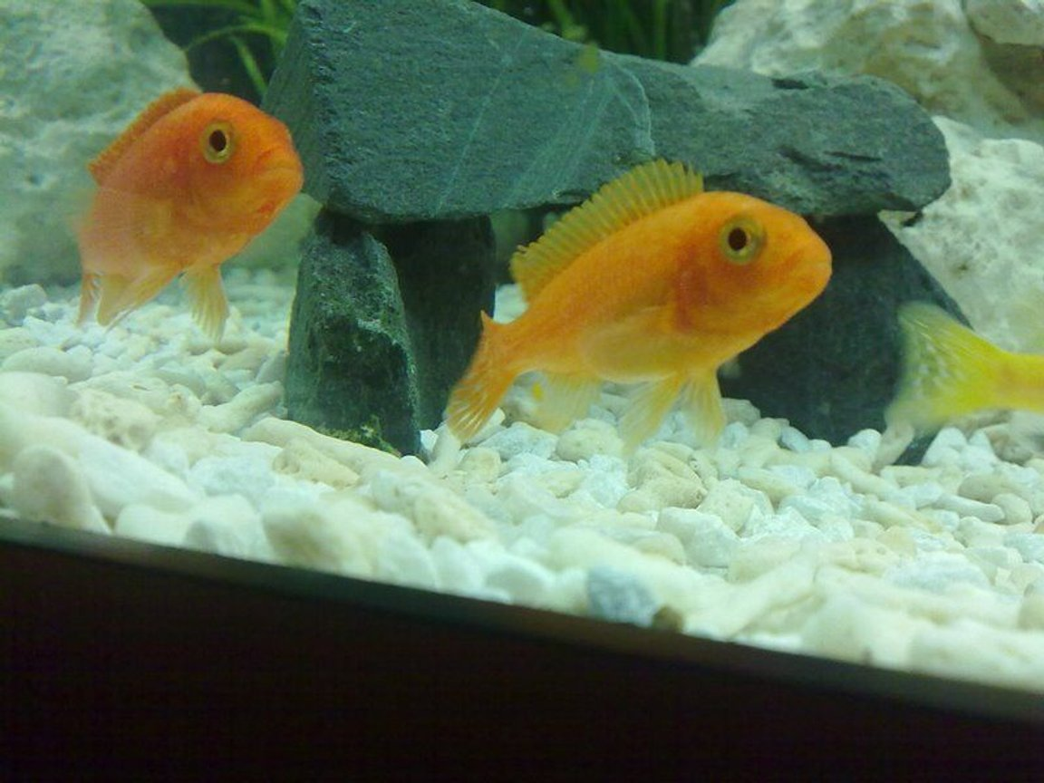 freshwater fish - pseudotropheus estherae - red zebra cichlid stocking in 90 gallons tank - Metriaclima estherae (Red Zebra)