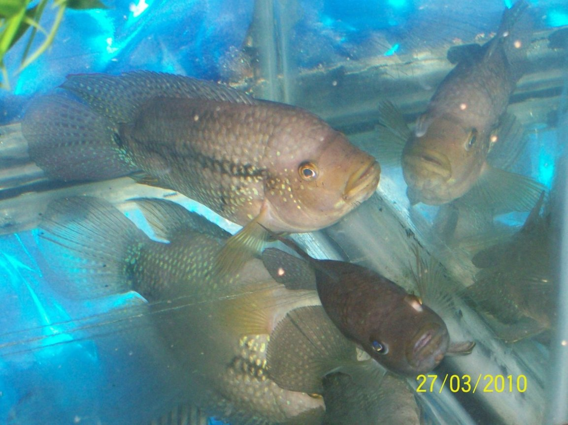 freshwater fish - nandopsis octofasciatum - jack dempsey stocking in 55 gallons tank - Ugly Ugly Jacks just sitting talking to them selves
