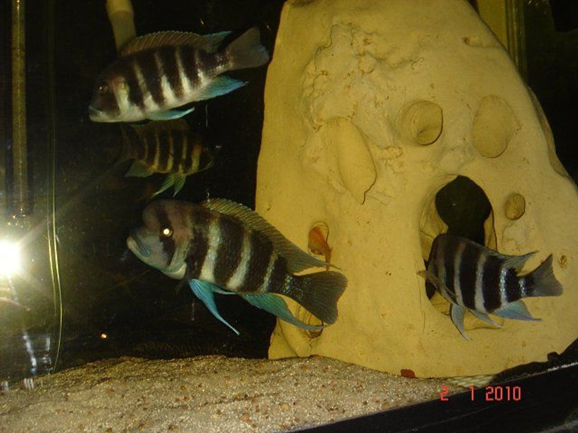 freshwater fish - cyphotilapia frontosa - frontosa cichlid stocking in 75 gallons tank - My Fronts
