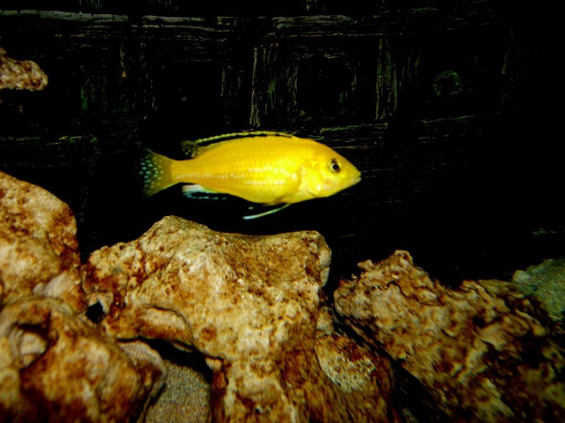 freshwater fish - labidochromis caeruleus - electric yellow cichlid stocking in 90 gallons tank - Labidochromis caeruleus (yellow lab)