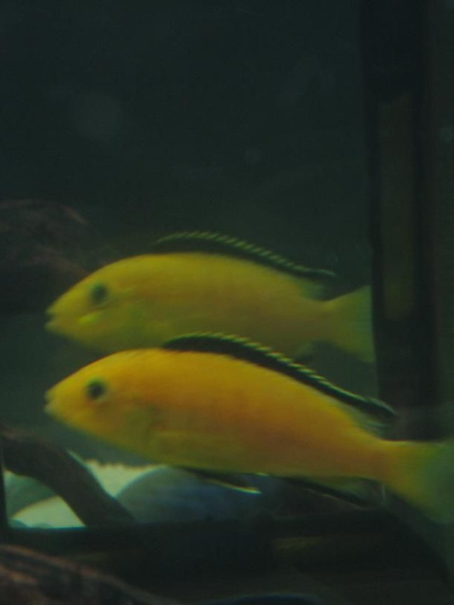 freshwater fish - labidochromis caeruleus - electric yellow cichlid stocking in 60 gallons tank - Electric Yellow in the mirror