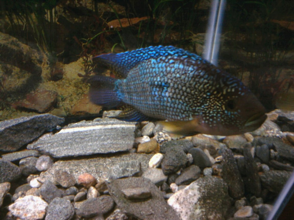 freshwater fish - nandopsis octofasciatum - jack dempsey stocking in 10 gallons tank - two and a half year old jack dempsey