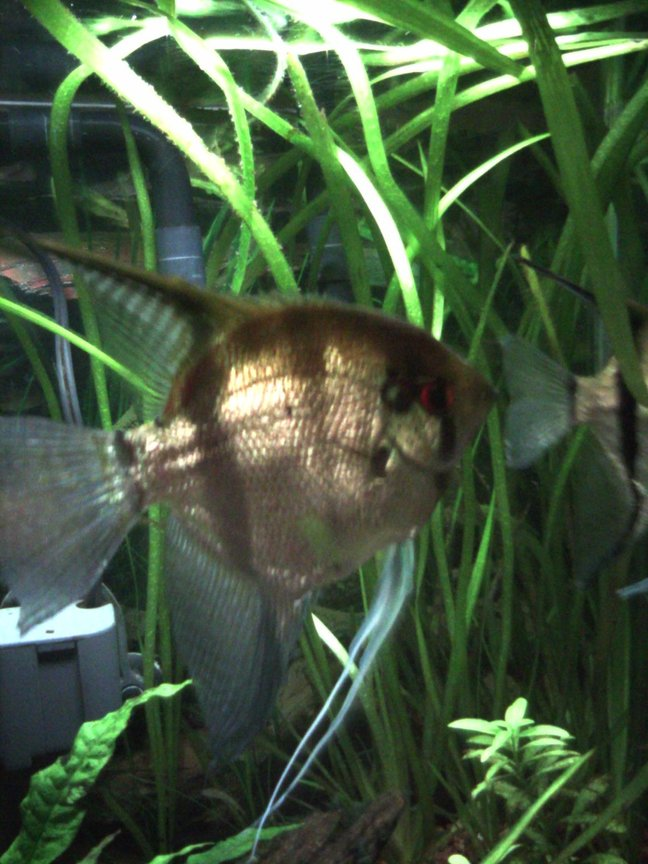 freshwater fish - pterophyllum sp. - silver zebra angel stocking in 55 gallons tank - Female Angelfish