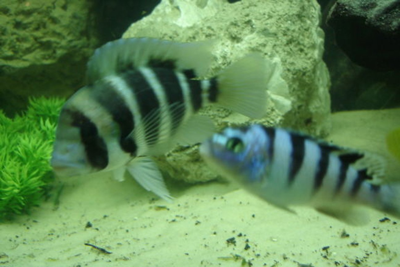 freshwater fish - cyphotilapia frontosa - frontosa cichlid stocking in 350 gallons tank - Frontosa and his wanna be