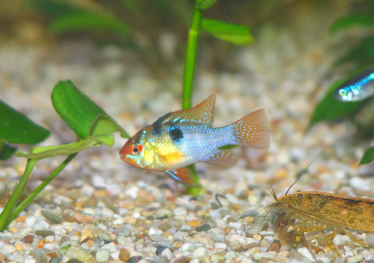 freshwater fish - papiliochromis ramirezi - german blue ram stocking in 45 gallons tank - German Blue Ram Cichlid, Microgeophagus ramirezi
