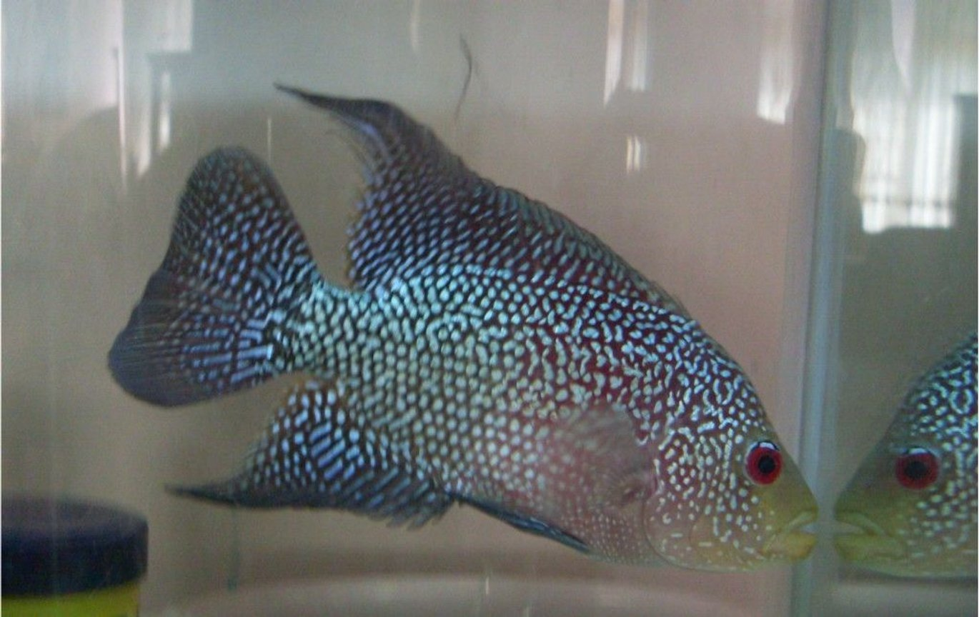 freshwater fish - cichlasoma sp. - flower horn cichlid stocking in 20 gallons tank - flower horn miniator
