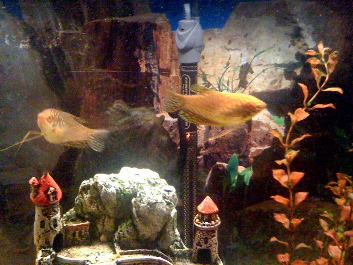 freshwater fish - trichogaster trichopterus - gold gourami stocking in 55 gallons tank - golden fishes
