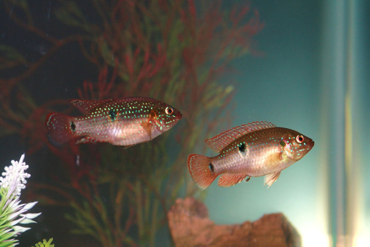 freshwater fish - hemichromis bimaculatus - jewel cichlid stocking in 55 gallons tank - Jeweled Cichlids