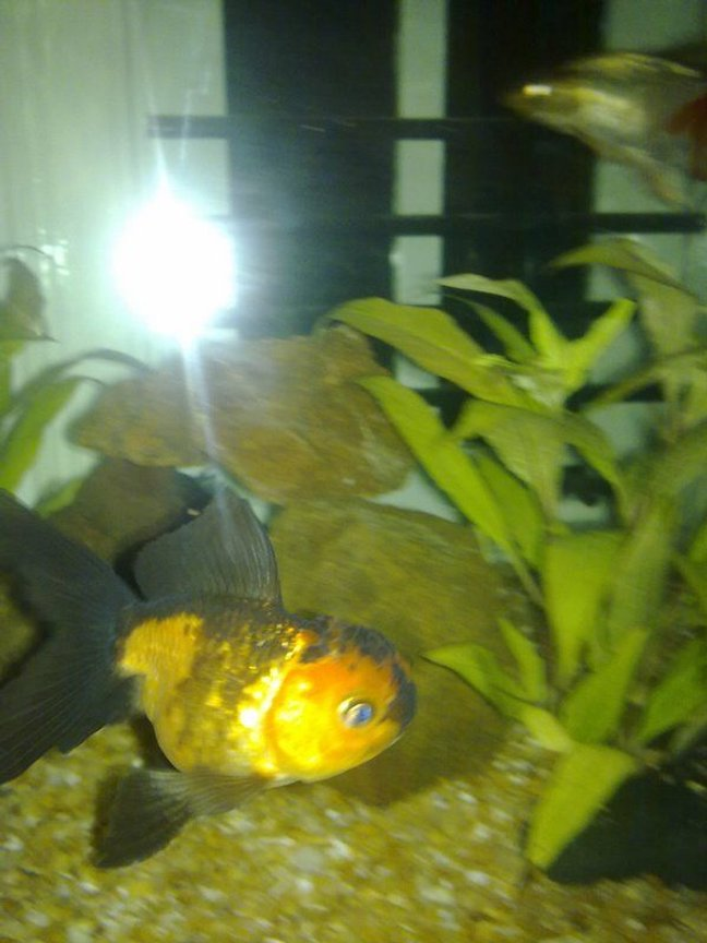 freshwater fish - carassius auratus - goldfish stocking in 250 gallons tank - my friends