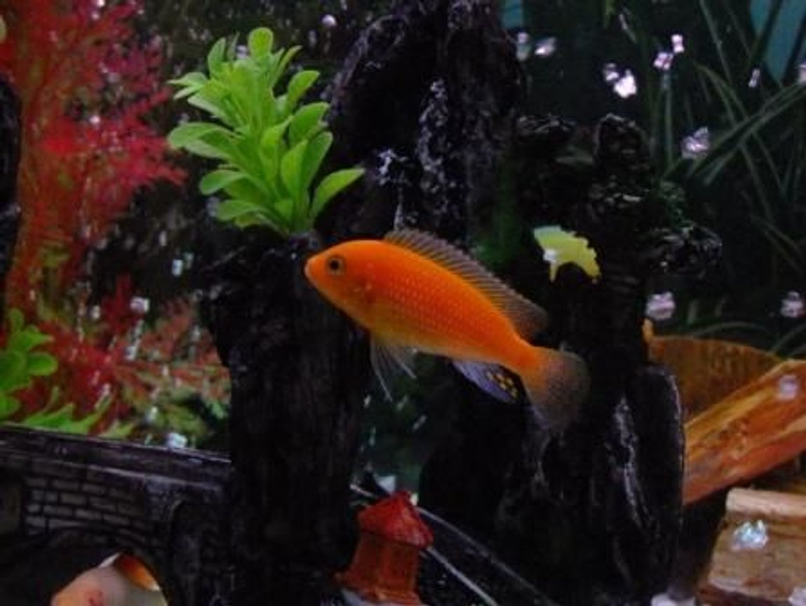 freshwater fish - pseudotropheus estherae - red zebra cichlid stocking in 100 gallons tank - Orange Morph