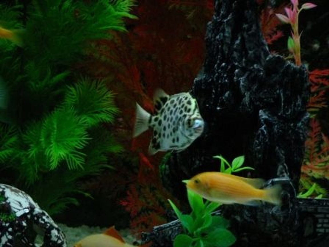 freshwater fish - scatophagus argus - spotted scat stocking in 100 gallons tank - Spotted Scat Fish