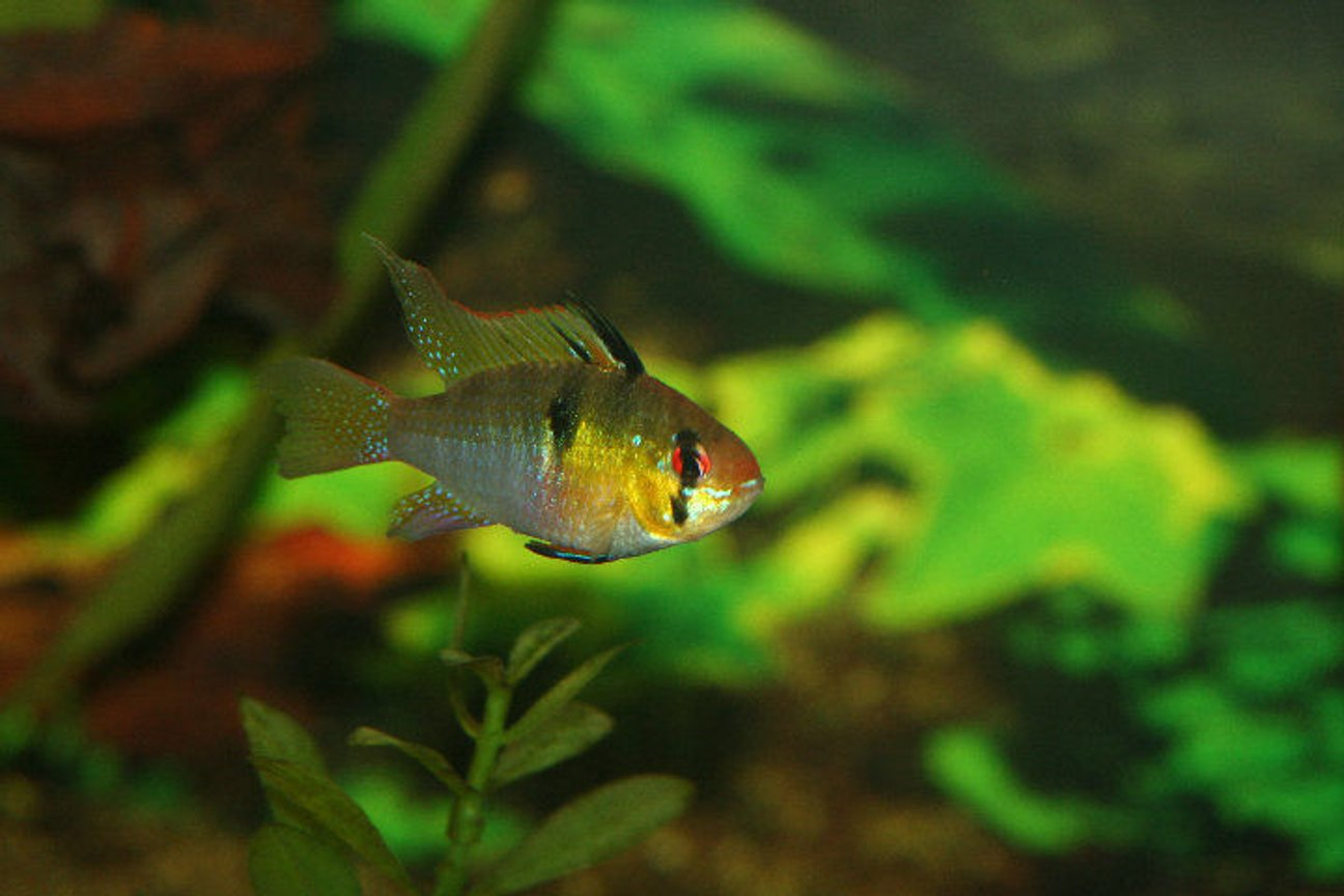freshwater fish - papiliochromis ramirezi - german blue ram stocking in 40 gallons tank - long fin ram
