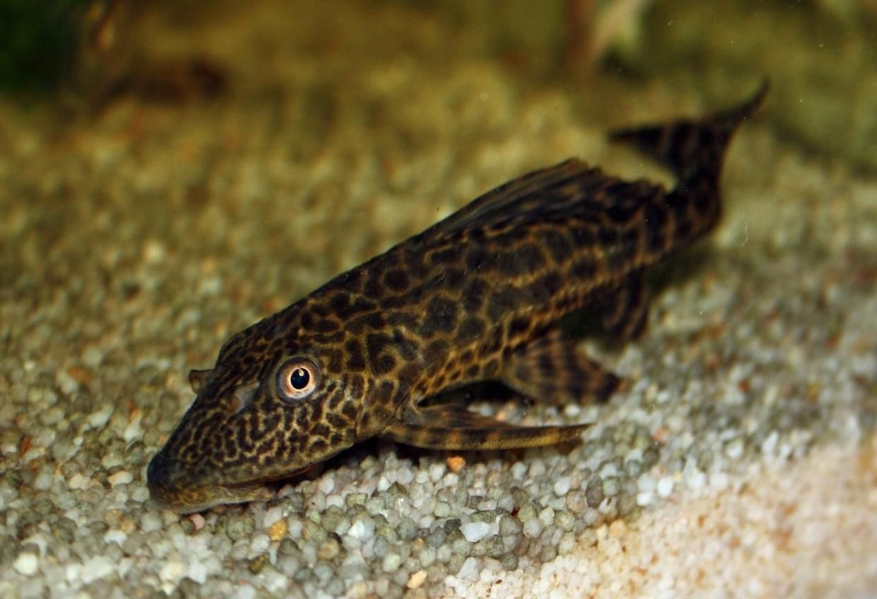 freshwater fish - hypostomus plecostomus - common pleco stocking in 65 gallons tank - My common Pleco, giving me the eye