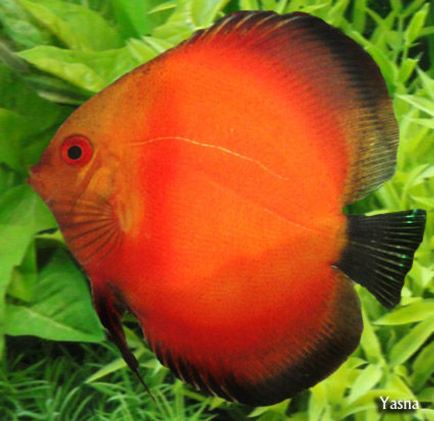 freshwater fish - symphysodon sp. - red discus stocking in 60 gallons tank - my red - white face discuse