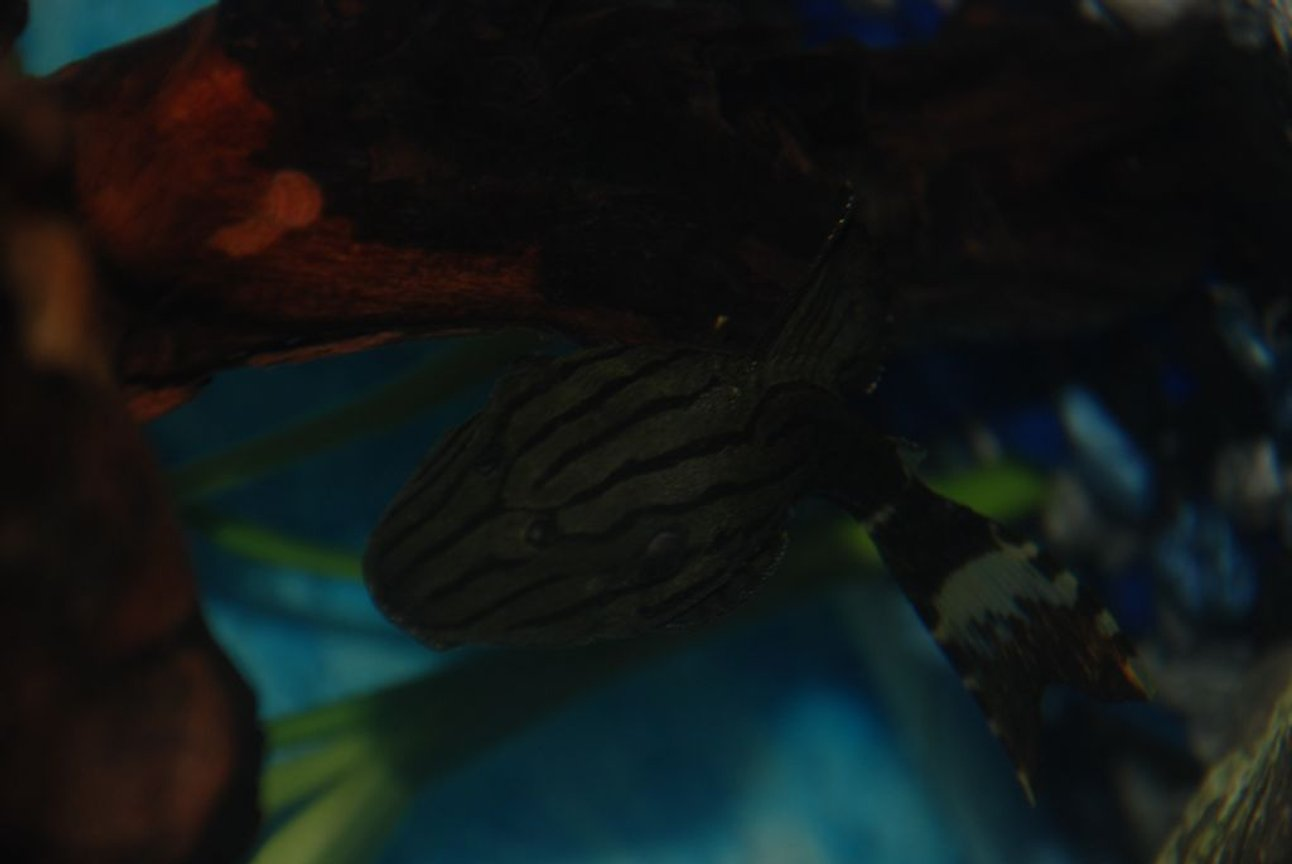 freshwater fish - panaque nigrolineatus - royal pleco (l-191) stocking in 37 gallons tank - Atlas the royal pleco